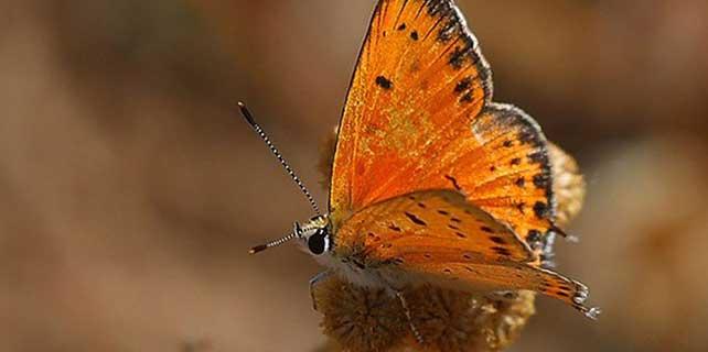 Hatay'da 6 yeni kelebek türü gözlendi