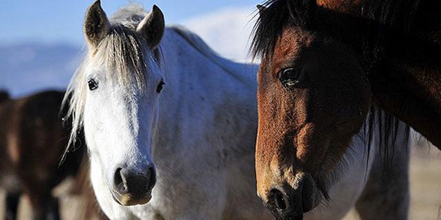 """Balkanlar'ın """"vahşi"""" atlarına yoğun ilgi"""