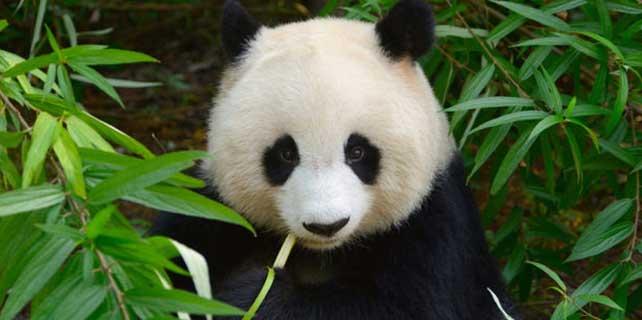 Çin'de panda nüfusu artıyor