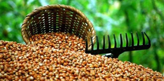 Fındık bölgesi Karadeniz'de tarım sigortasında büyük artış