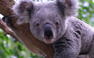 avustralyada-koala-vahseti