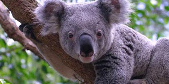 Avustralya'da koala vahşeti!