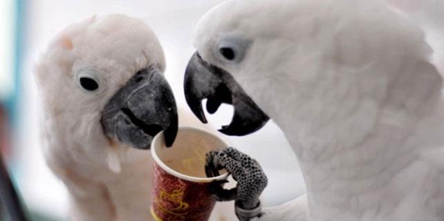 Kafein tiryakisi papağanlar görenleri şaşırtıyor