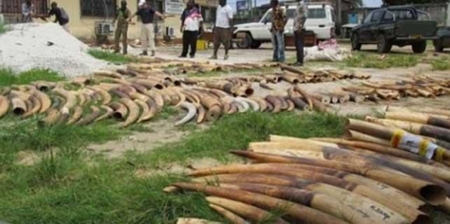 Kenya'da 15 ton fil dişi yakıldı