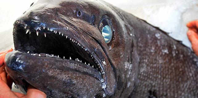 """Muğla'da """"yağ balığı"""" yakalandı"""