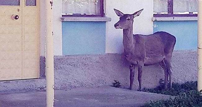 Akşehir'de yaralı geyik operasyonu