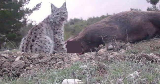 Karaman'da Avrasya Vaşağı ilk kez görüntülendi
