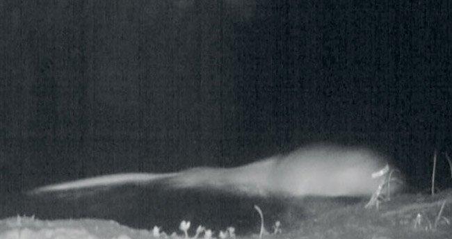 Küre Dağları'nda ilk kez su samuru göründü