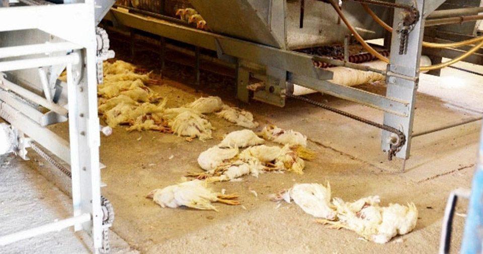 Balıkesir'de kanatlı ölümleri sürüyor