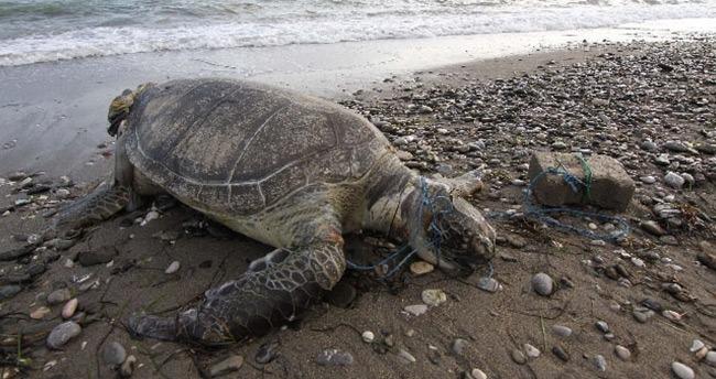 Deniz kaplumbağasına inanılmaz işkence!