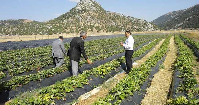Derebucak'ta Çilek ve Fasülye üretimi hız kazandı