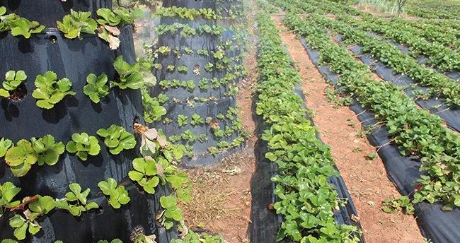 Hüyüklü Çiftçinin Asgari Ücreti Organik Çilekten