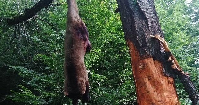 Ormanda ağaca asılı halde ayı ölüsü bulundu