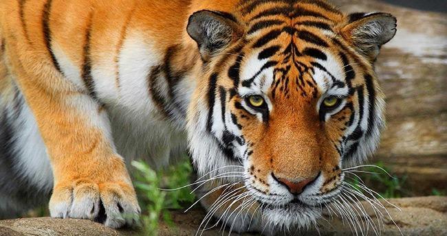 Tiflis'te hayvanat bahçesinden kaçan kaplan 1 kişiyi öldürdü