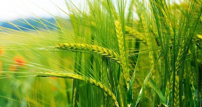 Yağmurun bereketi Konya'da buğday beklentisini arttırdı