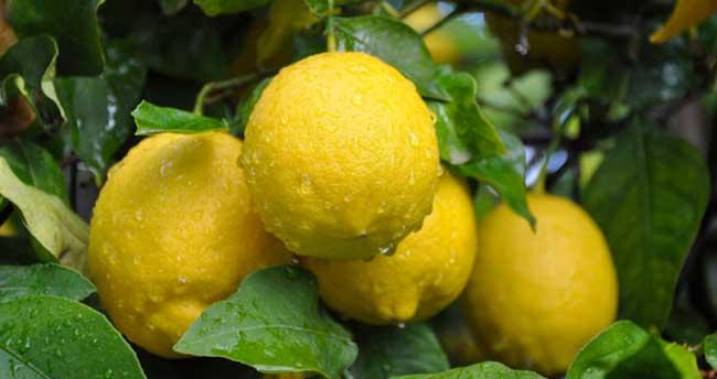 Zam şampiyonu limon üreticisini değil tüccarı güldürdü