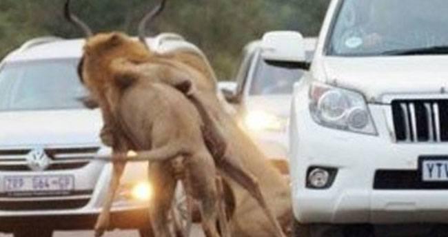 Aslanlar Avını Trafikte Yakaladı
