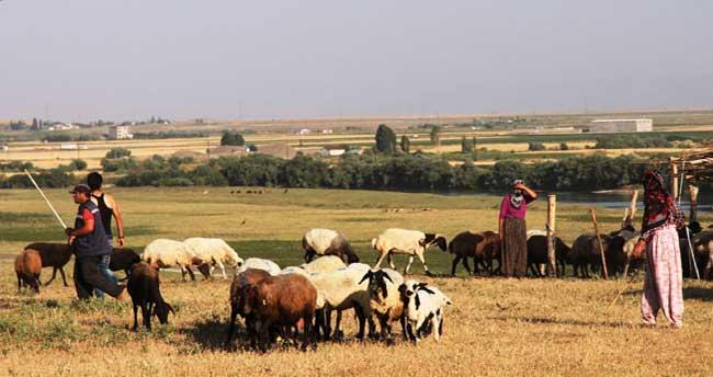 Aylık 4 bin TL'ye çoban aranıyor