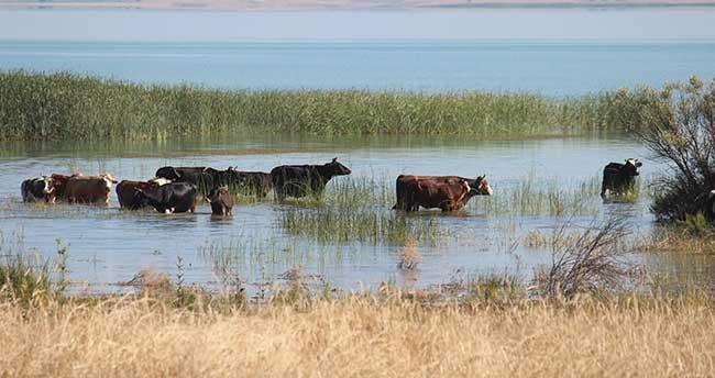 """Beyşehir'de inek sürülerinin """"göl banyosu"""""""