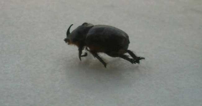 Bir gergedan böceği de Aydın'dan