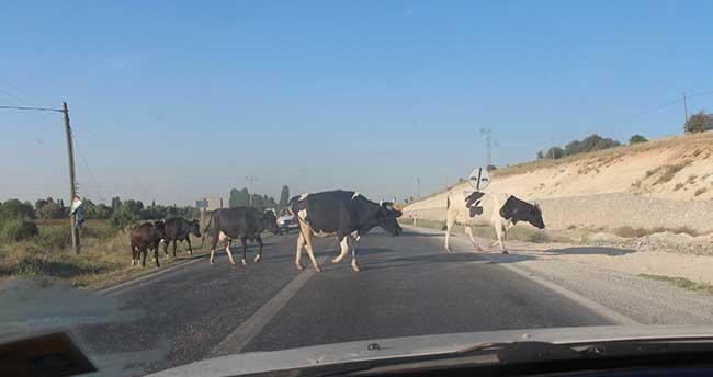 Karayoluna çıkan inek sürüleri yol güvenliğini tehlikeye düşürüyor