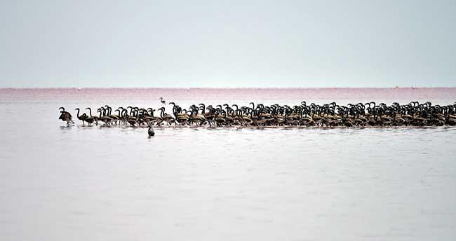 Tuz Gölü'nde yavru flamingo sevinci