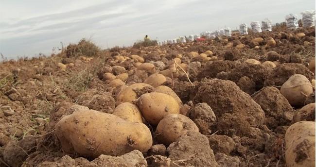Niğde Patatesini Hastalık Vurdu! Vatandaşın Cebi Yanacak