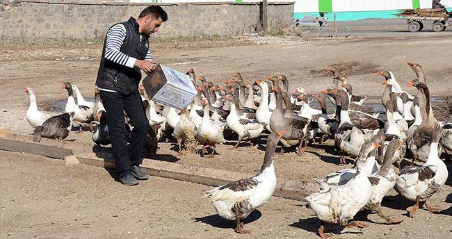 Kazlar lezzet düşkünleri için besiye alındı