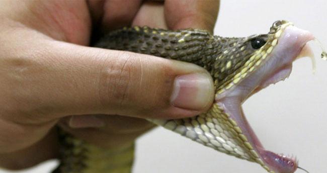 1.5 yaşındaki bebek zehirli yılanı öldürdü