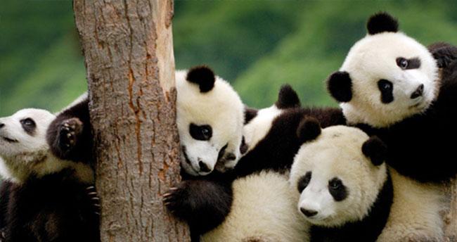 Pandaların dili çözüldü!
