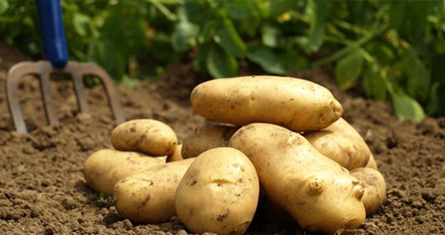 Patatesin fiyatı yarı yarıya düştü, üretici isyanda!