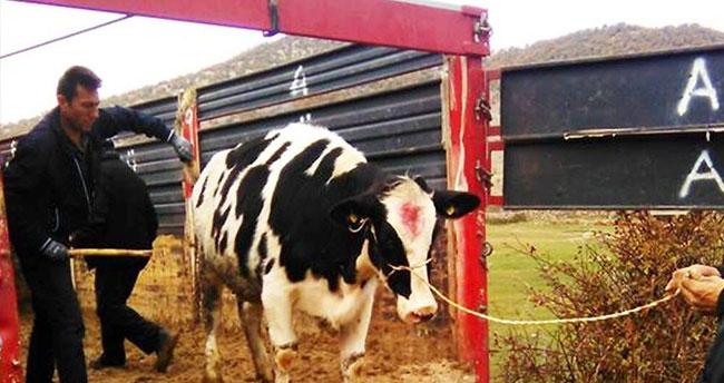 Ketenli'de damızlık inek dağıtıldı