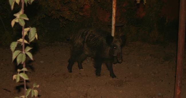 Konya'da yaralı domuz şehre indi