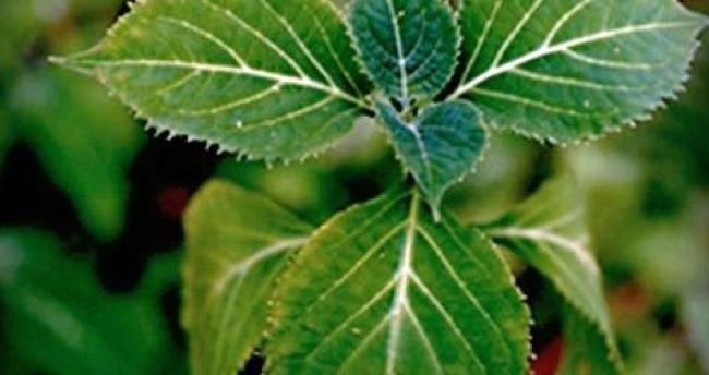 Yeni uyuşturucu 'salvia divinirum' bitkisine dikkat