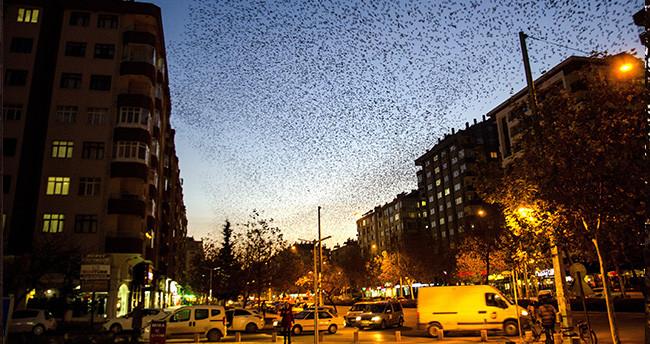 Konya semalarında sığırcık kuşlarından görsel şölen