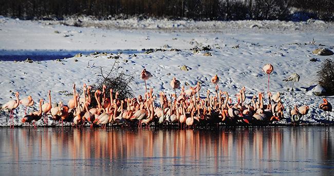 Flamingolar soğuktan İvriz Barajı'na sığındı