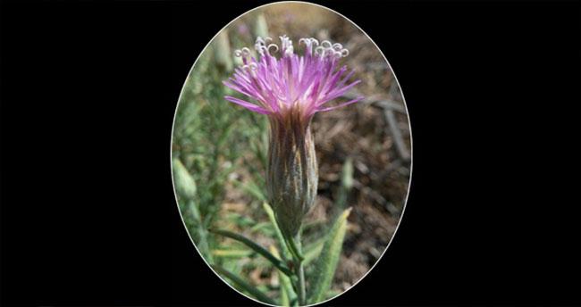 Urfa'da 106 yıllık kayıp çiçek bulundu!