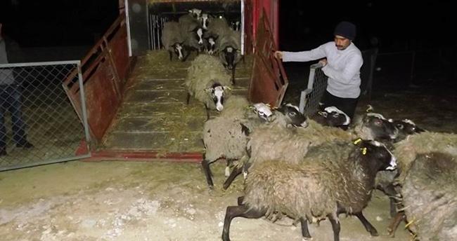 Seydişehir'e Ukrayna'dan koyun getirildi