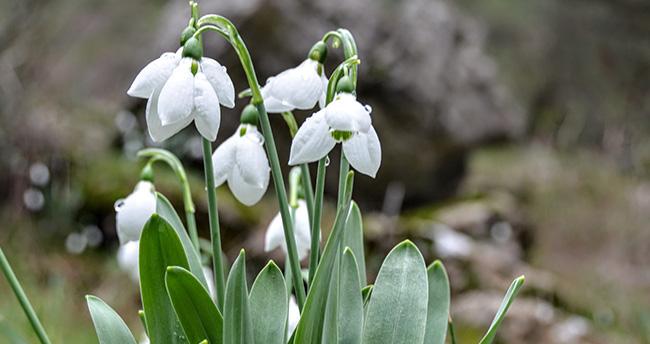 Konya'da kardelenler çiçek açtı