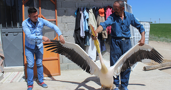 Yaralı pelikan Konya'da tedavi edilecek