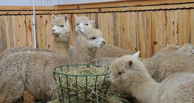 Selçuk Üniversitesi'ne Alpaka çiftliği kurulacak