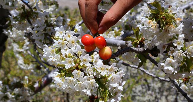 Hadim'de bin 800 rakımda kiraz ağaçları çiçek açtı