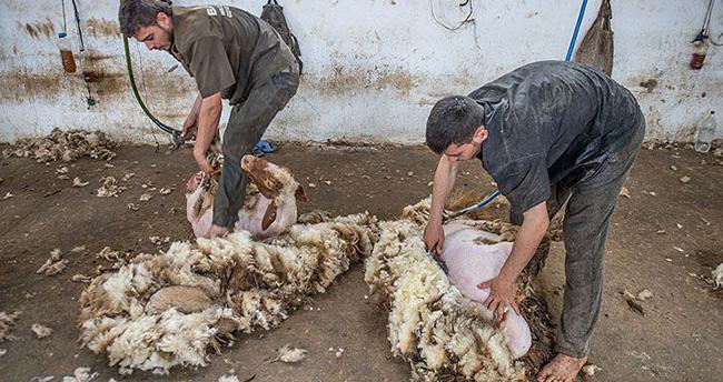 Koyunlar yaz tıraşıyla serinliyor