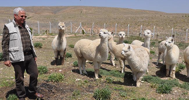 Türkiye'de ilk kez Alpaka deve çiftliği Konya'da kurulacak