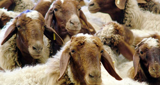 İngiltere'de esrar kalıntılarını yiyen koyunlar, köyü talan etti