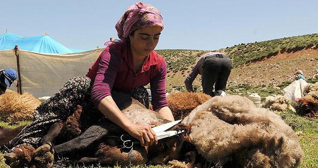 Koyunları kadınlar kırpıyor