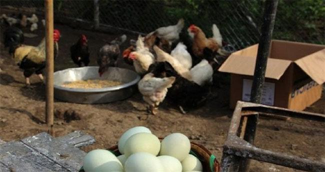 Bu tavuklar yeşil yumurtluyor