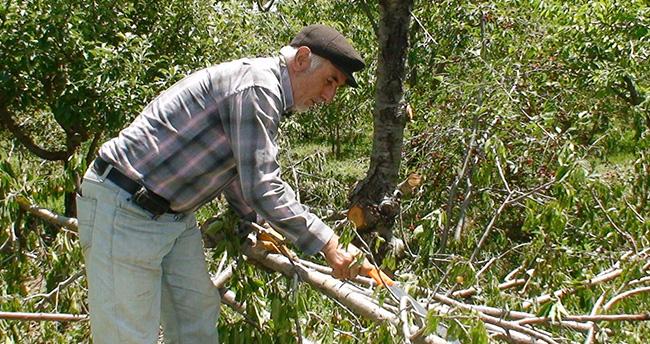 Konyalı üreticiler kiraz ağaçlarını kesmeye başladı