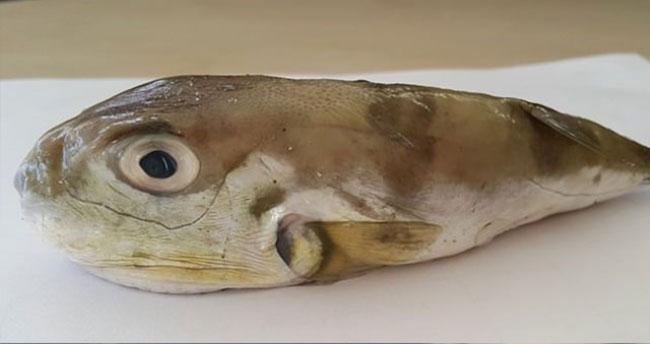 Kansere çare olacak balık!