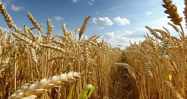 Buğday en çok Konya'da üretildi